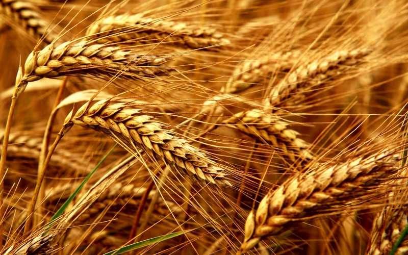 Avanza el cultivo de trigo en Corrientes