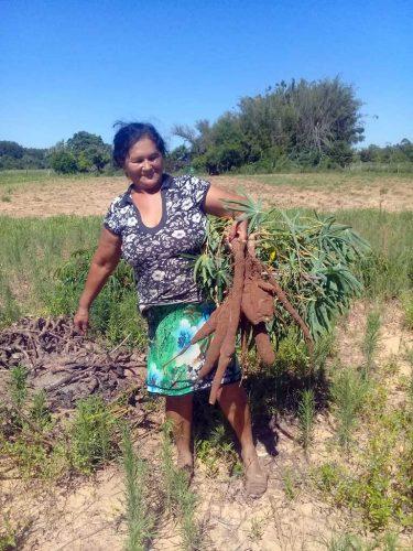 Recuperación y desarrollo productivo de batata y mandioca